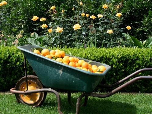 Wheel barrow & oranges-004